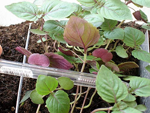 Zweifarbige Perilla - Perilla frutescens var crispa - 50 Samen