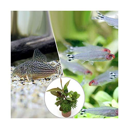 (熱帯魚)(水草)ビギナースタートセット ラミーノーズ・テトラ(ブリード)(10匹)+コリドラス・ステルバイ(1匹) 北海道航空便要保温