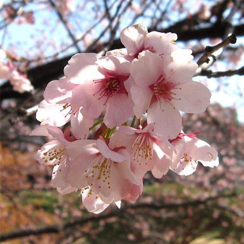 桜[サクラ・カンヒザクラ系]:大寒桜(オオカンザクラ)・安行寒桜4~5号ポット
