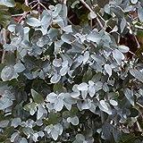 Semillas de Eucalipto de Gunn o Eucalipto Sidra 30 Semillas Eucalyptus Gunnii