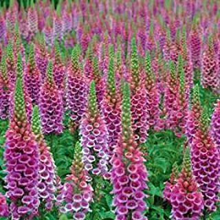 Digitalis (Foxglove) purpurea Candy Mountain Original (Rose) 1,000 seeds
