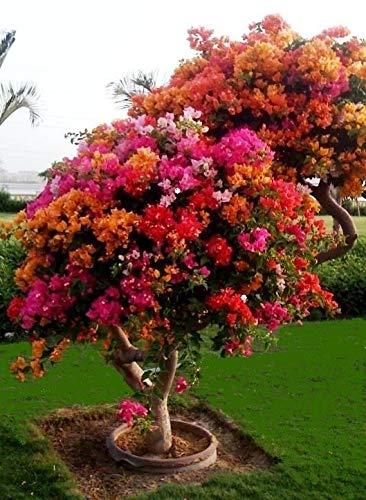 100 semillas de buganvilla coloridas, maceteros para balcón, semillas de jardín en bonsái, floríferas y resistentes, sementes burdeos