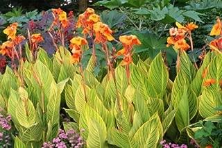 Bengal Tiger Canna Lily 3