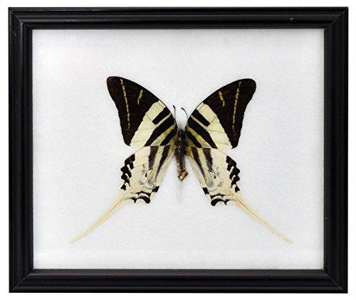 Schmetterling im Bilderrahmen,Giant Swordtail Butterfly