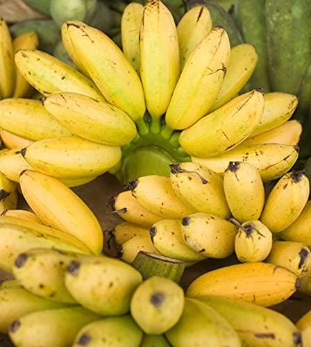 【フルヤの安心フルーツ】特別栽培 アップルバナナ 9kg