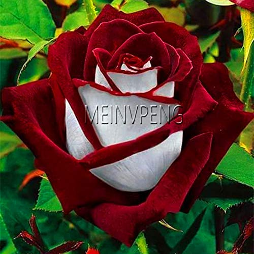 Generic Fresh 100pcs Rose Flower SEEDS para plantar rojo blanco