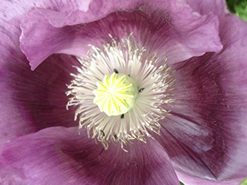 SwansGreen 1000 Lavendel Mohn lila Papaver somniferum Blumensamen