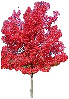October Glory Red Maple Tree - Shade Healthy Rooted - 2 Gallon Potted - 1 Plant