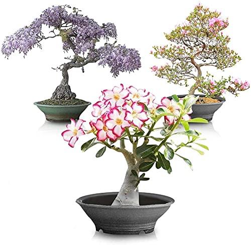Flowering Bonsai Tree Seed Bundle #2 - All Flowering Tree Seeds, Vibrant Colors - Desert Rose, Japanese Cherry Blossom, Chinese Wisteria