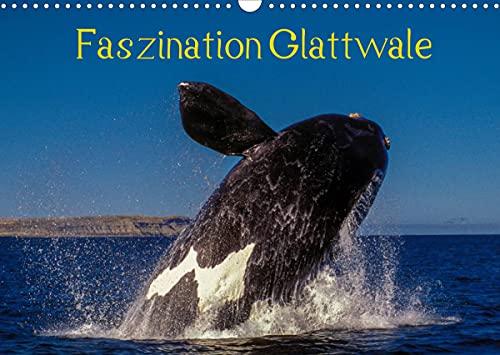 Faszination Glattwale (Wandkalender 2022 DIN A3 quer)