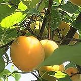 梅とアンズの交雑種で、一般的な梅より耐寒性が強いです。 果実は大粒で果肉も分厚く、梅干しや梅ジャム、梅酒・漬梅などに利用されます。 3月中旬~4月上旬にきれいな花を咲かせるので、観賞用にも楽しめます。 自家結実性が弱いので、受粉樹があった方がいいです。 花粉が多いので、他の梅の受粉樹に向いています。 学名:Prunus mume タイプ:バラ科サクラ属 収穫期:6月下旬 果実の大きさ:40~60g前後 自家結実性:ややあり 推奨受粉樹:竜峡小梅・小粒南高・花香実・鴬宿・甲州小梅・紅さし・改良内田...