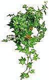 AMERICAN PLANT EXCHANGE English Ivy Needlepoint Live Plant, 6' Pot, Green Trailing Vine