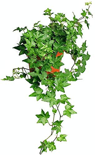 AMERICAN PLANT EXCHANGE English Ivy Needlepoint Live Plant, 6