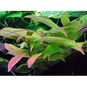 Tropica Aquarium Pflanze Hygrophila Compact