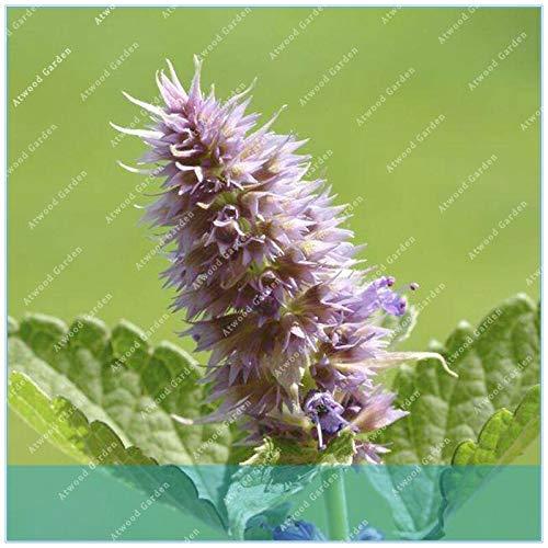 Ferry 50 PC/Beutel Lakritz Bonsai Echt Agastache Rugosa Indian Ysop Patchouli Herb Anlage für Hausgarten-Leicht zu Pflanzen