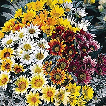 Shop Meeko Kings Seeds - Gazania Talent - 25 graines