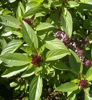 350++ SIAM Queen Thai Basil Ocimum Thyrsiflora Herb Seeds
