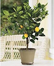 AchmadAnam - Tree - Improved Meyer Lemon, 2-3 Year Old (2-3 Ft), Potted, 3 Year Warranty. E2