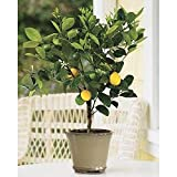 SmartMe - Improved Meyer Lemon Tree, 1-2 Year Old (1-2 Ft), Potted, 3 Year Warranty. E3