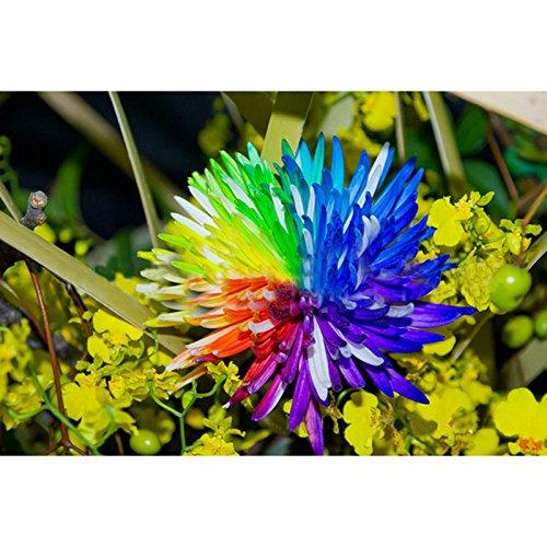 Arc-en-fleur de chrysanthème Graines d'ornement Bonsai Rare Nouvelle couleur Choisir Plus chrysanthème Seeds Flower Garden plantes