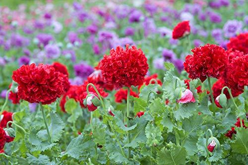 Mohn, Schlafmohn 'Rot Paeony' 30 Samen - Papaver somniferum (Poppy Red Peony)