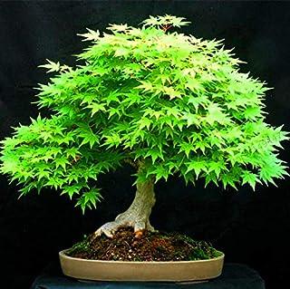 AGROBITS ¡Más Vendido!50 Piezas de Las Plantas de árboles de Japón Bonsai de Arce de Japón para Home Garden Beautifying No...