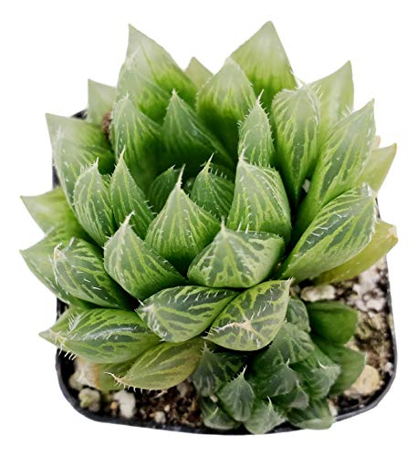 Fat Plants San Diego Living Indoor Succulents and Cactus Rooted in Plastic Planters with Soil (2.5 Inch, Haworthia Cooperi)