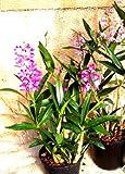1 blühfähige Orchidee der Sorte: Dendrobium kingianaum, 12cm Topf