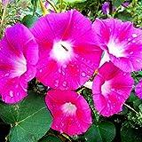 Eastbride Plantes ornementales,Graines de Gloire du Matin de Couleur mélangée, Fleur de Trompette de Vigne grimpante Quatre saisons-100 g,Graine parfumée Vivace