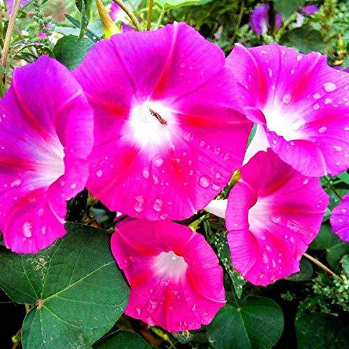 Eastbride Blumensamen für Garten Balkon,Mixed Color Morning Glory Samen, Vier Jahreszeiten Kletterpflanze Trompete Blume-100 g,Lange Blütezeit winterhart