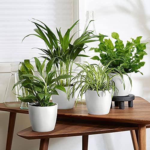 4er Set Luftreinigende Zimmerpflanzen | Vier Grünpflanzen mit Topf | Areca, Chlorophytum, Nephrolepis, Spathiphyllum | Höhe 25-30 cm | Topf Elho weiß Ø 12,5cm
