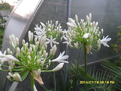 Agapanthus africanus, Liebesblume, 10 frische Samen WEISS