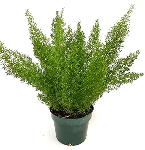 Fern Foxtail, 6in Pot, 19-22in Overall Height, Asparagus Fern Live Indoor Plant air Purifier 95218