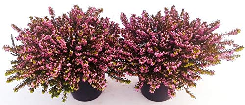 ERICA CARNEA DARLEYENSIS ROSSO - VIOLA, 2 PIANTE, piante vere