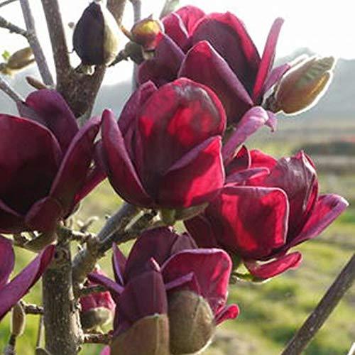 Lai-LYQ 10 Stks Magnolia Zaden Zeldzaam Diep Paars Zwart Yulan Boom Bloem Buiten Tuin Geurige Meerjarige Sierplant