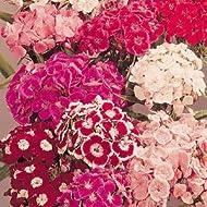 Sweet William Auricula Large Flowered