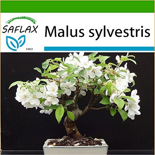 SAFLAX - Manzano silvestre - 30 semillas - Con sustrato estéril para cultivo - Malus sylvestris
