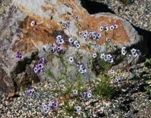 『種:1ポンド:ダーティ庭師GiliaトリコロールのEyess』の2枚目の画像