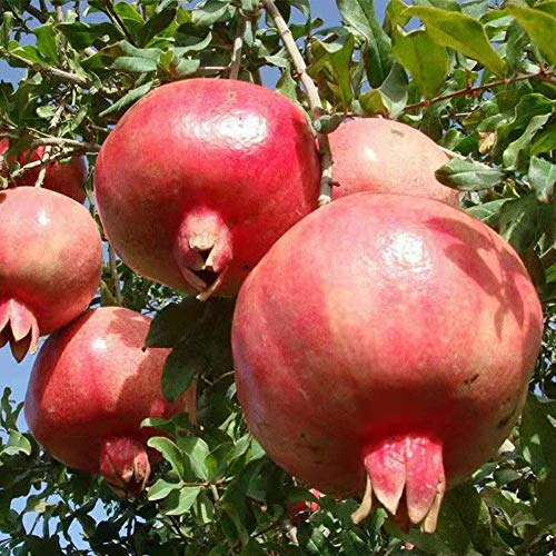Semi di frutta di melograno 20 pezzi semi di piante premium a doppio fiore biologico per piantare giardino all'aperto