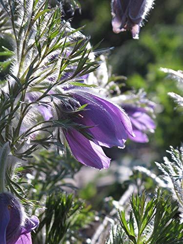 Gewöhnliche Küchenschelle, Kuhschelle (Pulsatilla vulgaris) 30 Samen