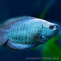 (熱帯魚)コバルトドワーフグラミー オス (約4cm)<1匹>[生体]