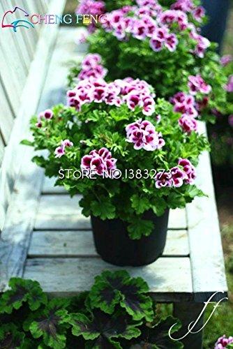 Green Seeds Co. Grand Promotion 20 pcs/lot Frais Véritable Geranium plantes Pelargonium Fleur plantes Bonsaï Plantes Pour La Maison Jardin Cadeau: Jaune