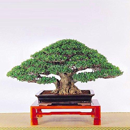XdiseD9Xsmao 50 Stks Chinese Ficus Boom Zaden Groen Blad Plant Zaden Wortels Bonsai Banyan Tuin Balkon Outdoor Woody Plant