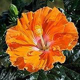 100 Pcs Hibiscus Seeds Flower Seeds Plant Fresh Garden...
