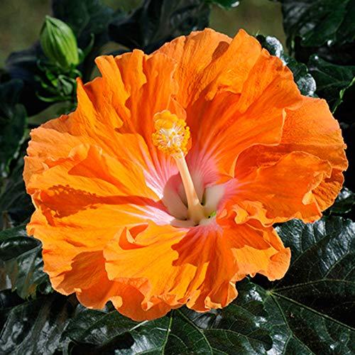 100 Pcs Hibiscus Seeds Flower Seeds Plant Fresh Garden Seeds,Flower Garden Home...
