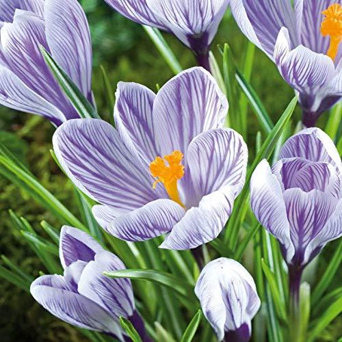 AIMADO Samen-100 Pcs Großblumiger Krokus 'Pickwick' bienenfreundlich Blumensamen mehrjährig winterhart Krokus Samen bonsai pflegeleicht Saatgut für Garten