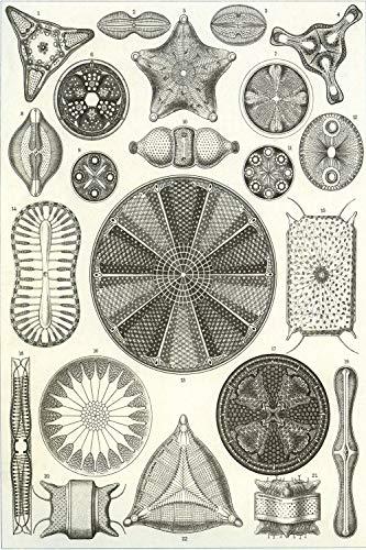 Dreamawsl Retro Biological Life Poster Series - Ernst Haeckel's Diatoms - Biological Illustration - Wall Memorial Decoration Metal Tin Sign 11.8 x 7.8 inch