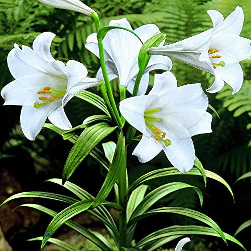 5x Lilium longiflorum