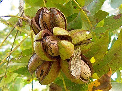 PERAGASHOP 1 planta de nogal Pecan Juglandacee.