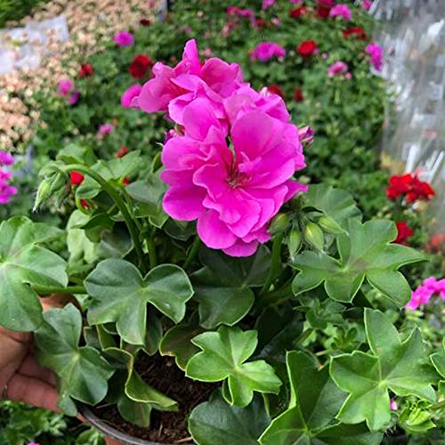 TOYHEART 500 Piezas De Semillas De Flores De Primera Calidad, Semillas De Semillas Ornamentales Florecientes Semillas De Geranio Decorativas Para El Parque rojo
